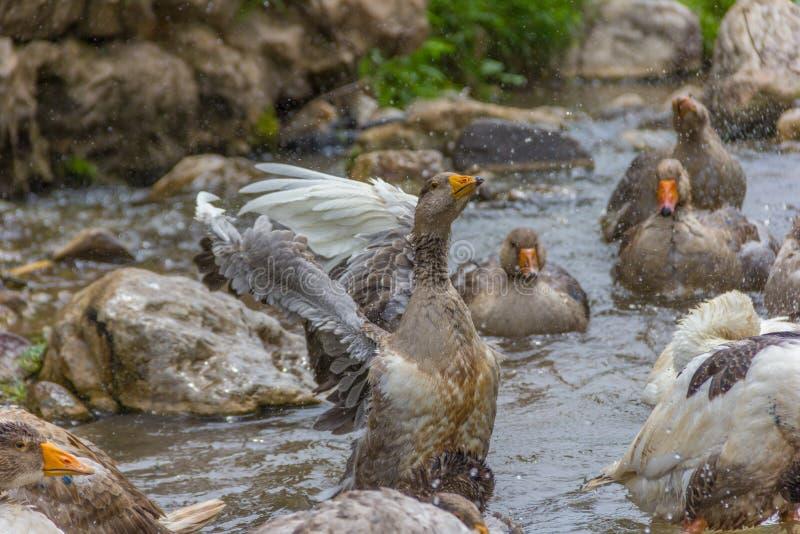 Greylag goose preening and splashing in the water stock image