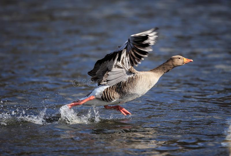 A Greylag goose running to take off royalty free stock images