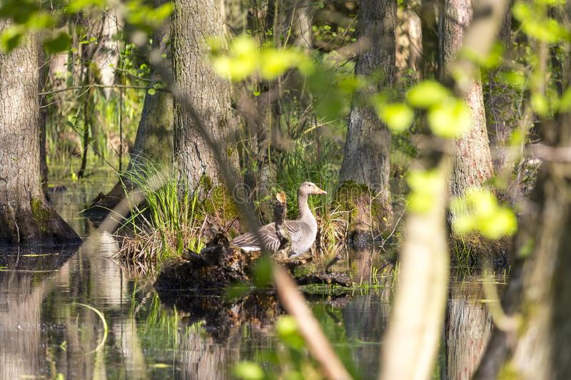 A greylag goose sits on a log in a swamp stock photography