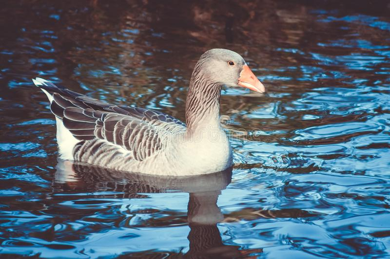 Close up image of a Greylag Goose stock photography
