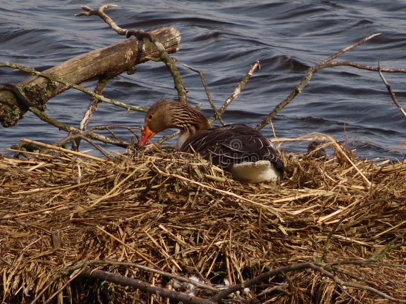 Greylag Goose and its nest royalty free stock photos