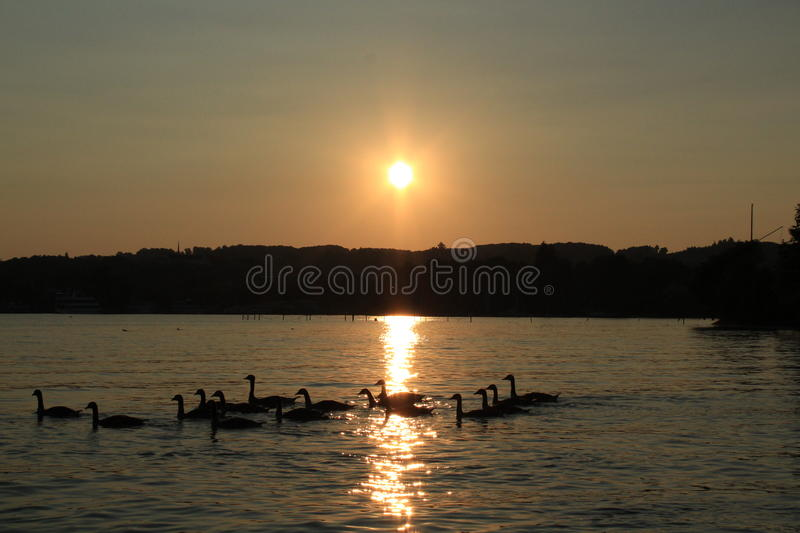 Greylag Goose in sunset royalty free stock photo
