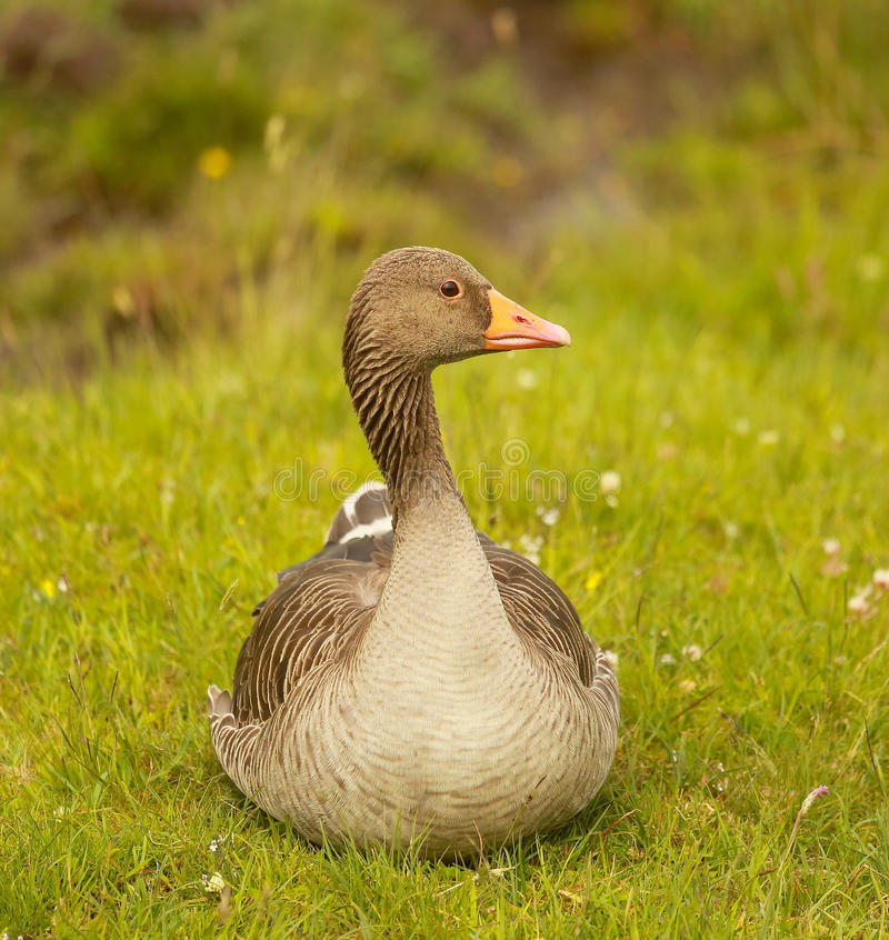 A greylag goose stock photography