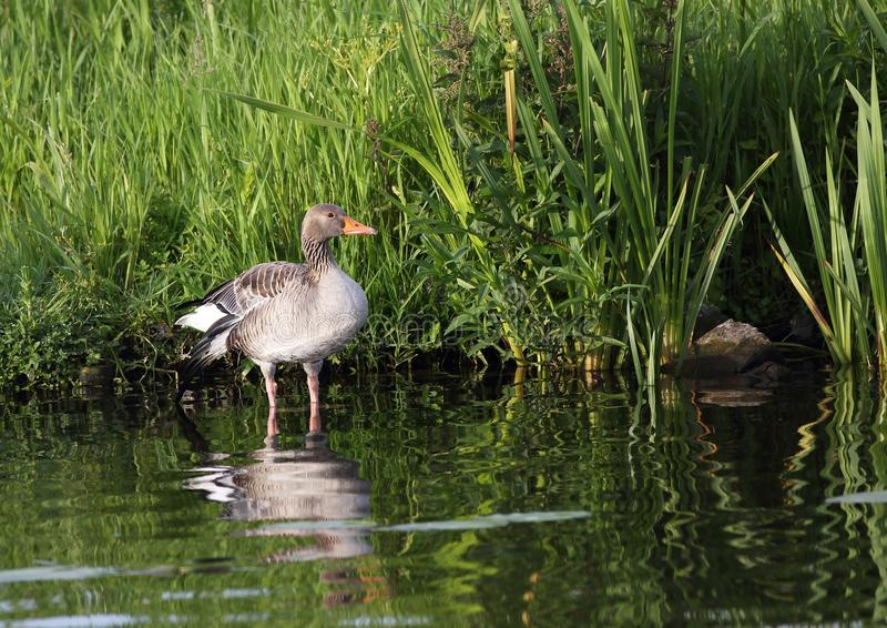 Greylag goose royalty free stock photos
