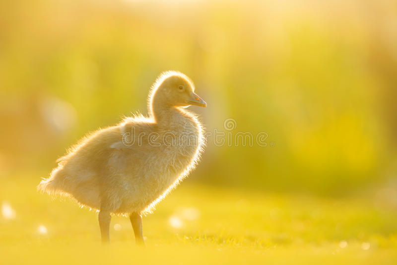 Greylag Gosling in Evening Sunlight royalty free stock images