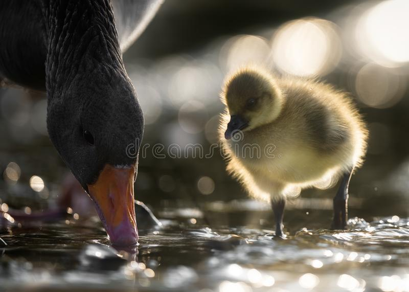 Greylag Gosling Watches Mother Goose Dabbling royalty free stock photos