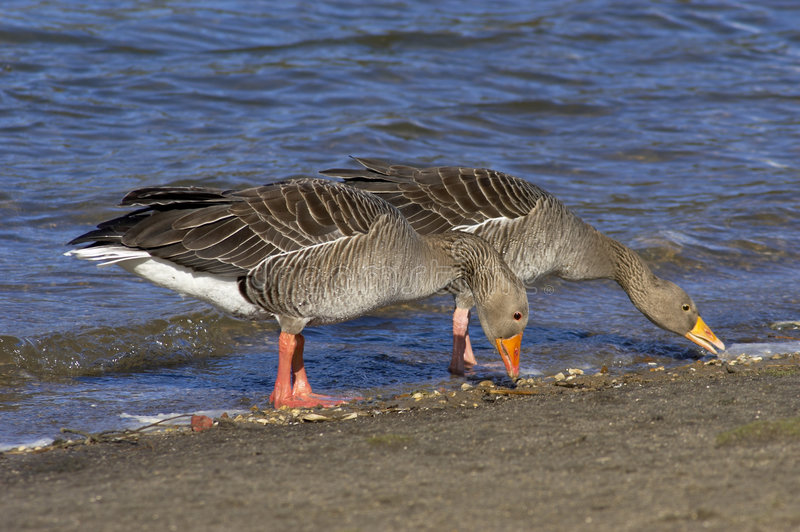 Greylag68 photos stock