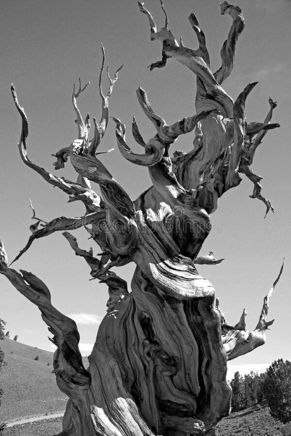 Greyscale Photo of Dead Tree on Dry Land stock photography