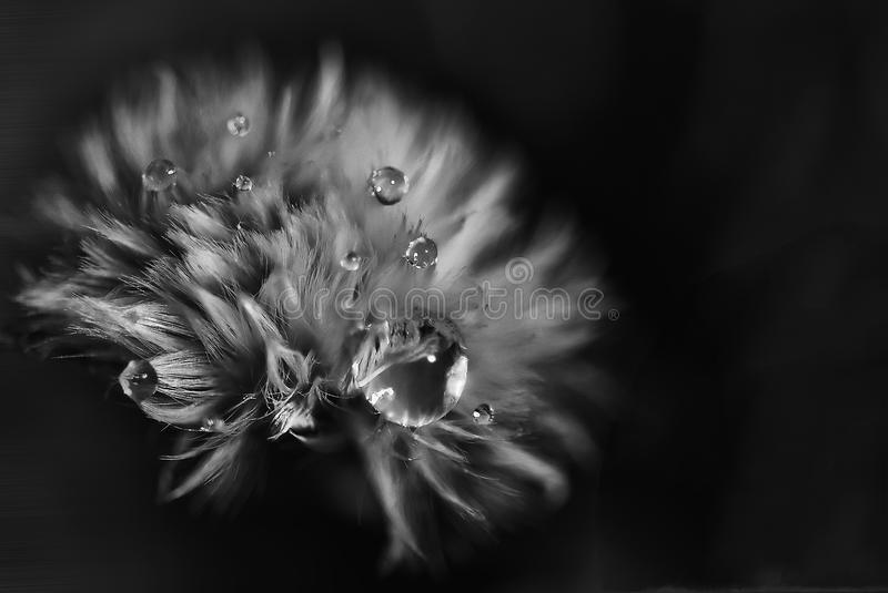 Greyscale Photo of Petaled Flower With Dew Drops royalty free stock photos