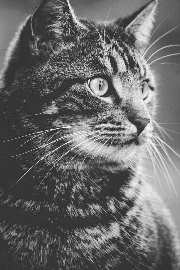 Greyscale фотография кота Tabby стоковое фото