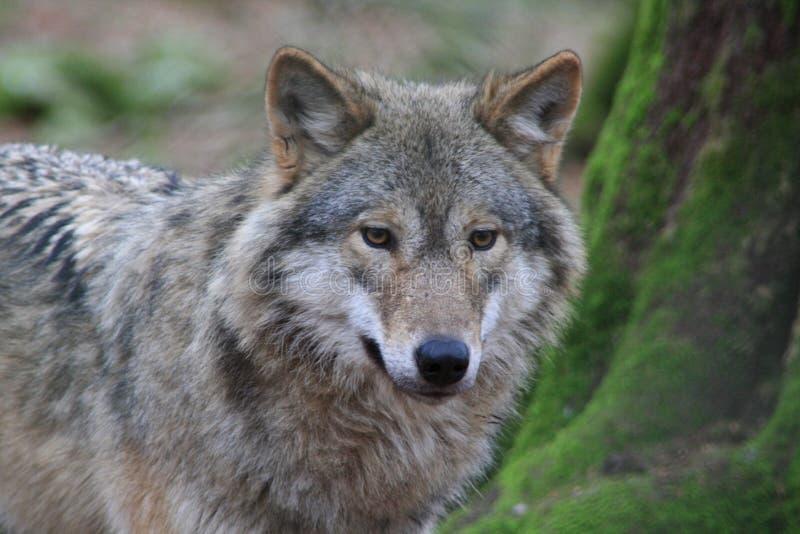 Greywolf imagem de stock