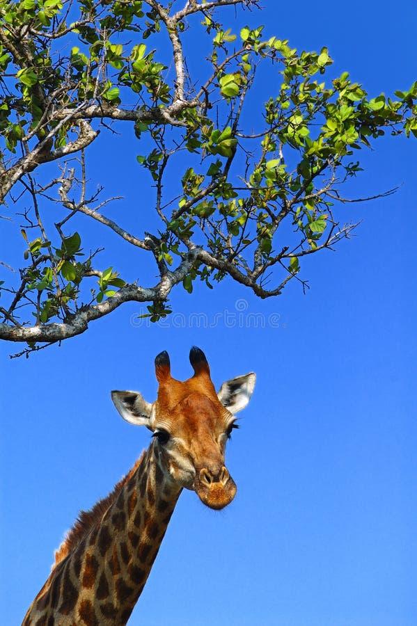 Download Griaffe (Giraffa Camelopardalis) Stock Image - Image: 5045241