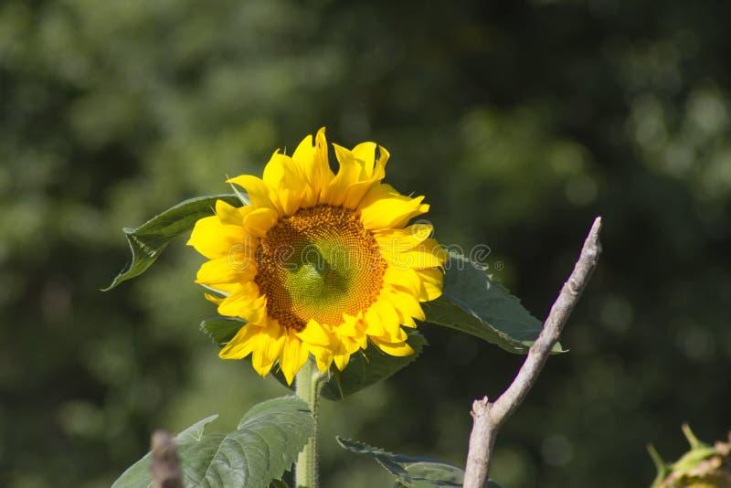 Griasol einsam in der Sonne stockbilder
