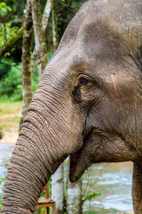 Gridare elefante fotografie stock libere da diritti