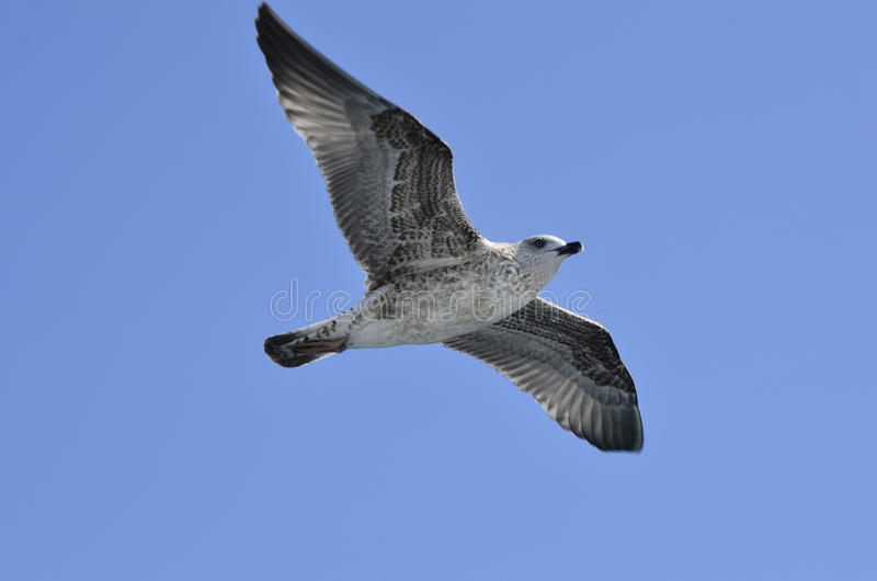 Griechenland, Zoologie, Vogel stockbilder