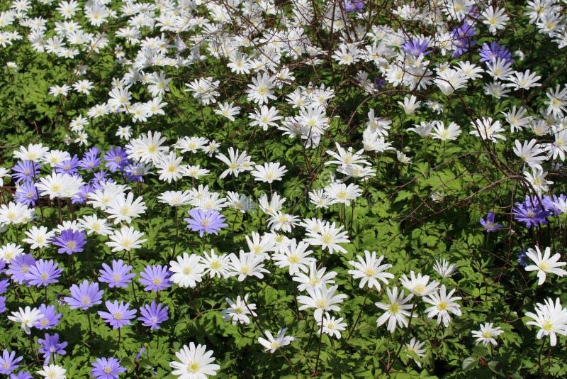 Griechische Windflowers - Anemone Blanda lizenzfreie stockbilder