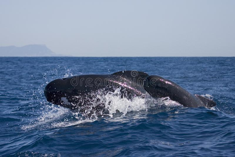 Griend, Użebrowany Pilotowy wieloryb, Globicephala melasa zdjęcia stock