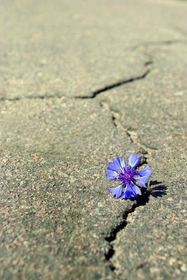 Grieta en la carretera de asfalto Una grieta en el asfalto y una flor hermosa Copie los espacios foto de archivo