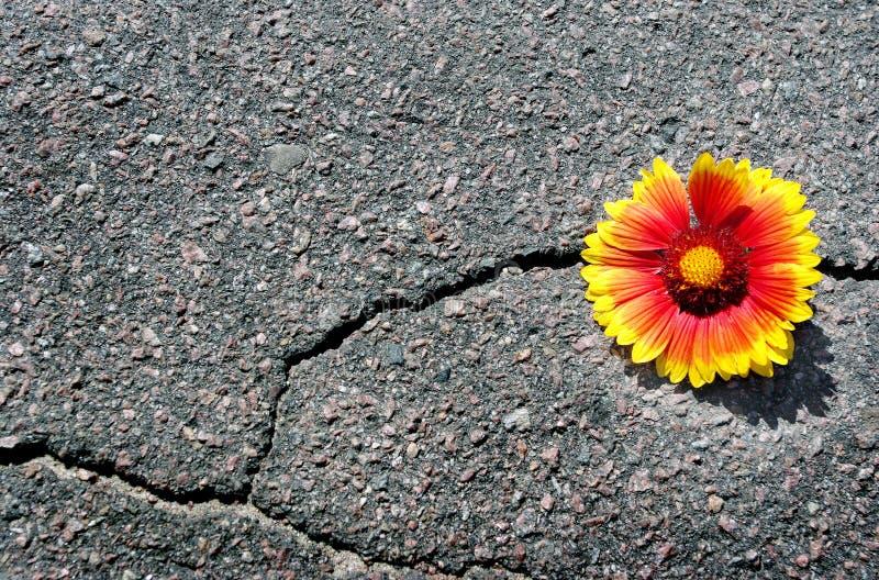 Grieta en la carretera de asfalto Una grieta en el asfalto y una flor hermosa Gaillardia Copie los espacios imágenes de archivo libres de regalías