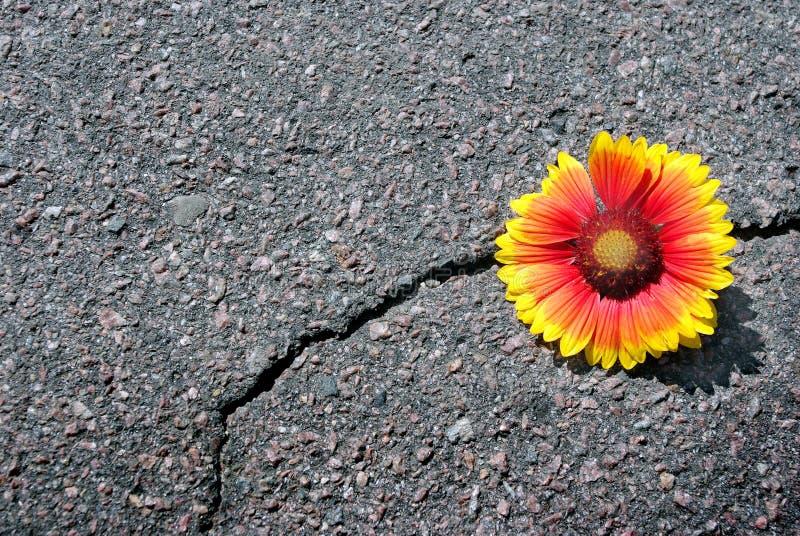Grieta en la carretera de asfalto Una grieta en el asfalto y una flor hermosa Gaillardia Copie los espacios fotografía de archivo
