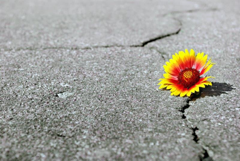 Grieta en la carretera de asfalto Una grieta en el asfalto y una flor hermosa Gaillardia Copie los espacios imagen de archivo libre de regalías