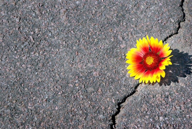 Grieta en la carretera de asfalto Una grieta en el asfalto y una flor hermosa Gaillardia Copie los espacios foto de archivo libre de regalías