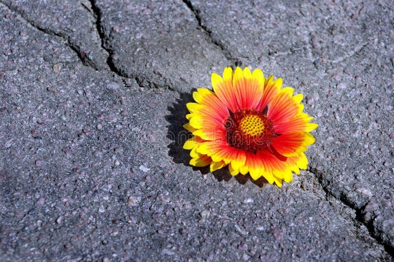 Grieta en la carretera de asfalto Una grieta en el asfalto y una flor hermosa Gaillardia Copie los espacios imagen de archivo