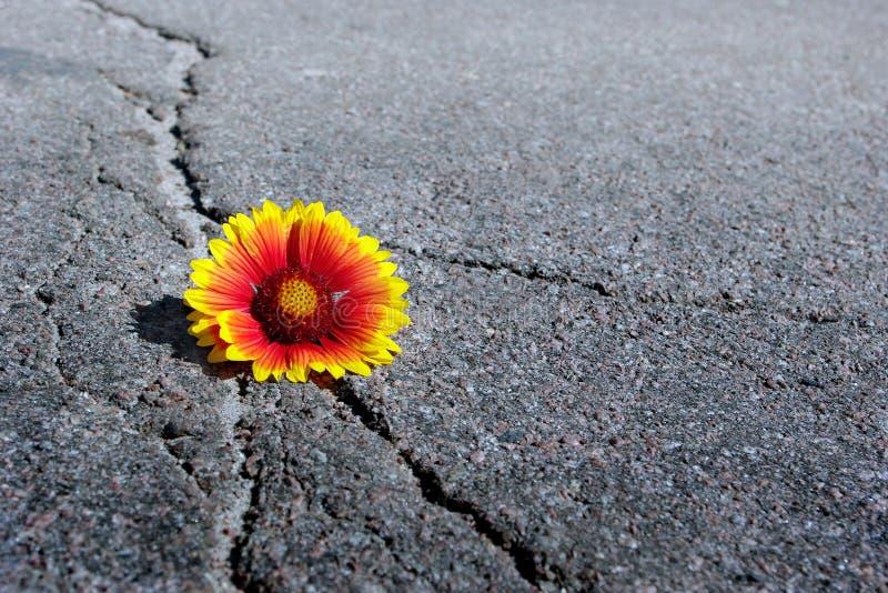 Grieta en la carretera de asfalto Una grieta en el asfalto y una flor hermosa Gaillardia Copie los espacios fotos de archivo