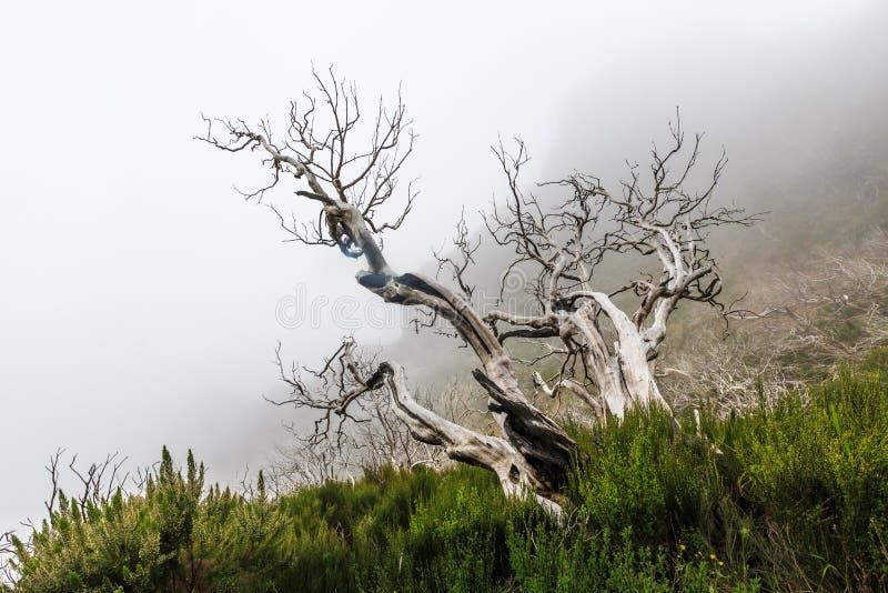 Griezelig landschap die een nevelig donker bos met dode witte tre tonen stock fotografie