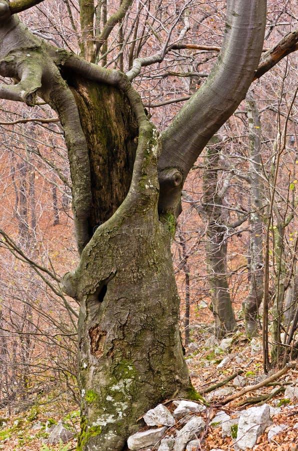 Griezelige oude beukboom in het midden van het bergbos royalty-vrije stock fotografie