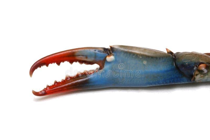 Griffe de crabe bleu photographie stock