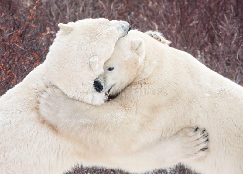 Griffer de boxe d'entraînement d'ours blancs et mordre de lutte photo stock