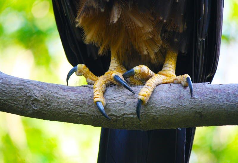 Griffes d'Eagle images stock