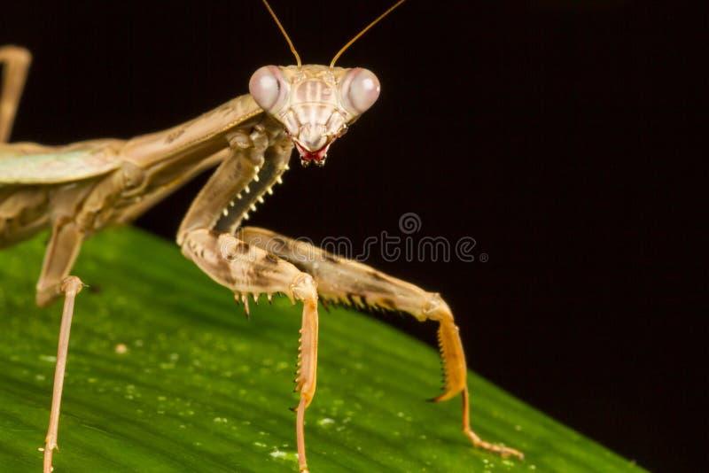 Griffin Mantis (Polyspilota-griffinii) stock foto