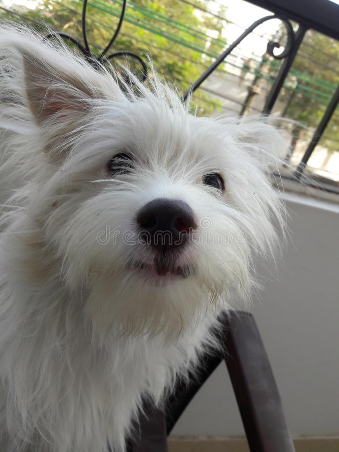 Griffon狗面孔 免版税库存图片