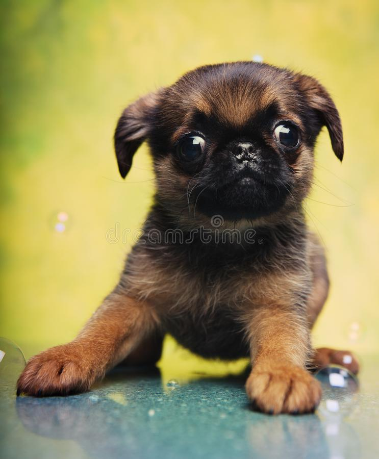 Griffon baby puppy dog in studio quality. Postcard royalty free stock image