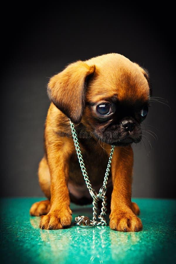 Griffon baby puppy dog in studio quality. Postcard stock photos