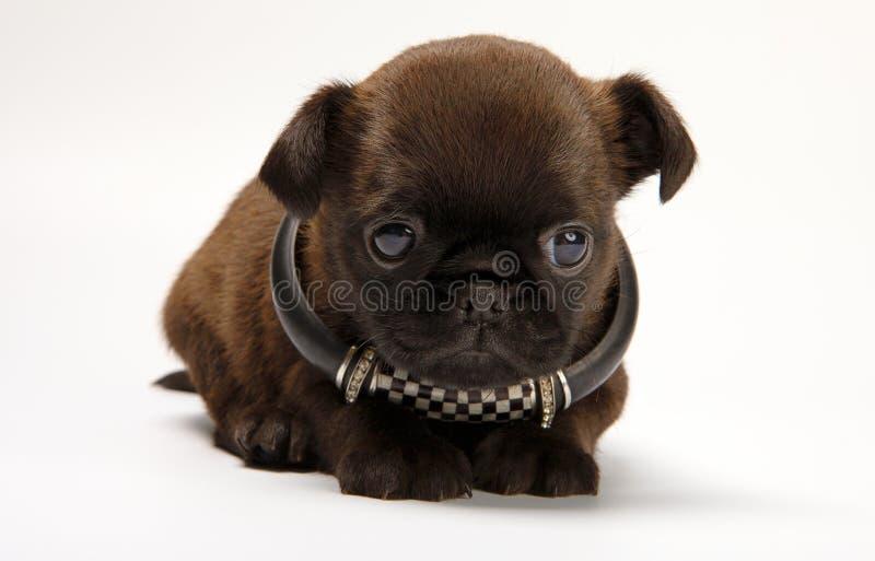 Griffon baby puppy dog in studio quality. Postcard stock image