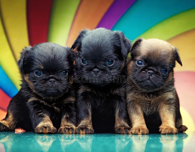 Griffon baby puppy dog in studio quality. Postcard royalty free stock photo