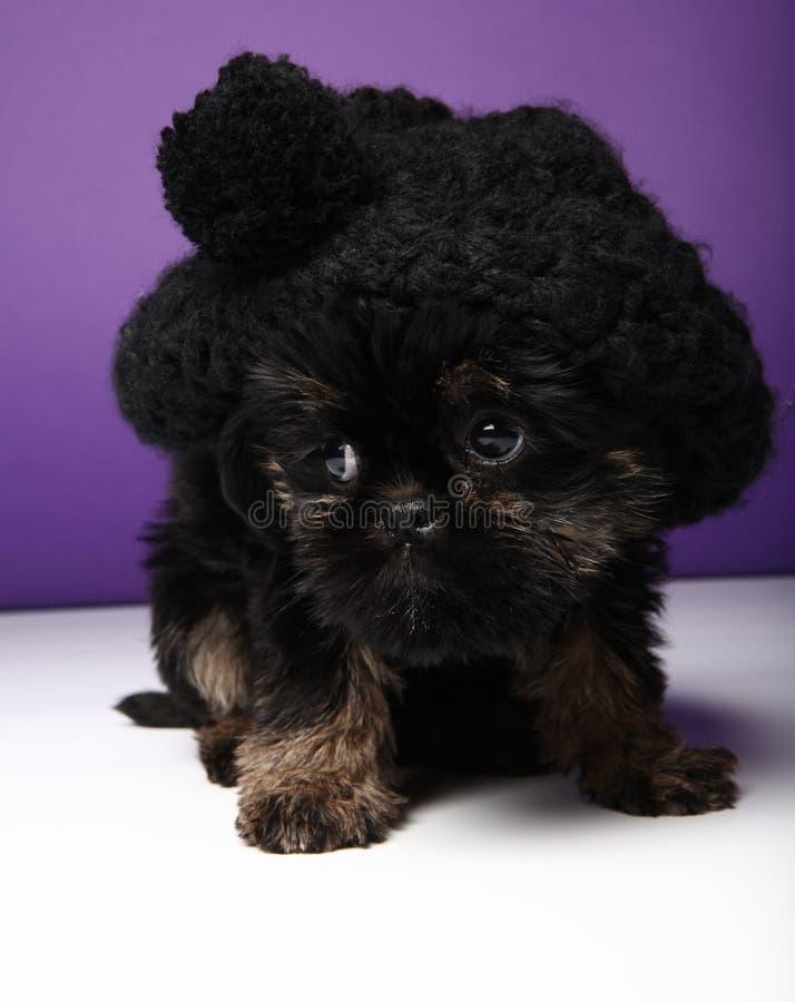 Griffon baby puppy dog in studio quality. Postcard stock photo