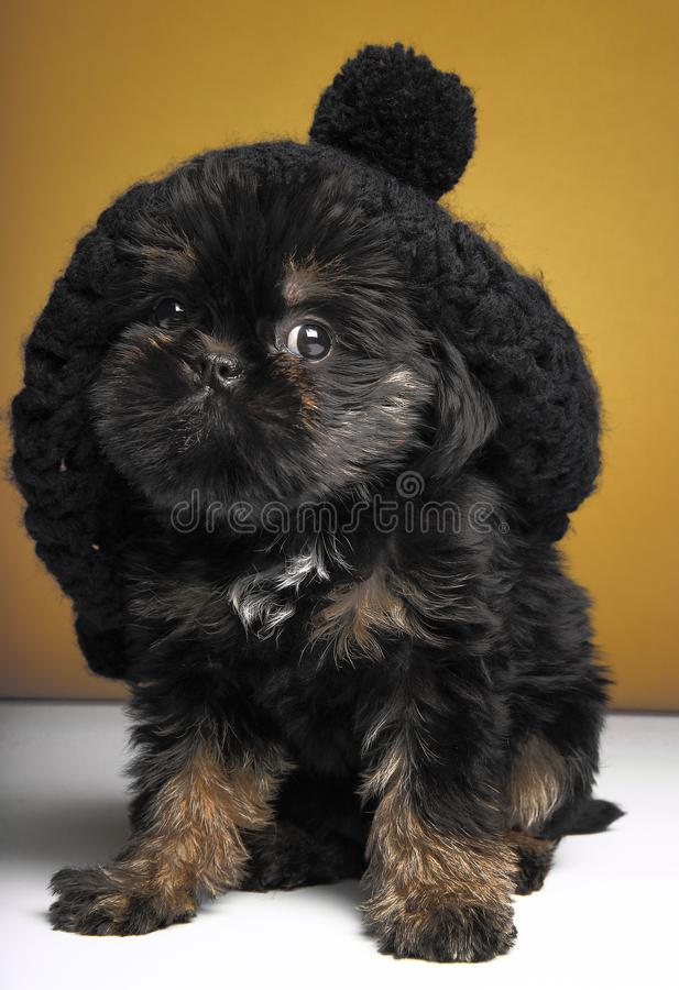 Griffon baby puppy dog in studio quality. Postcard royalty free stock images