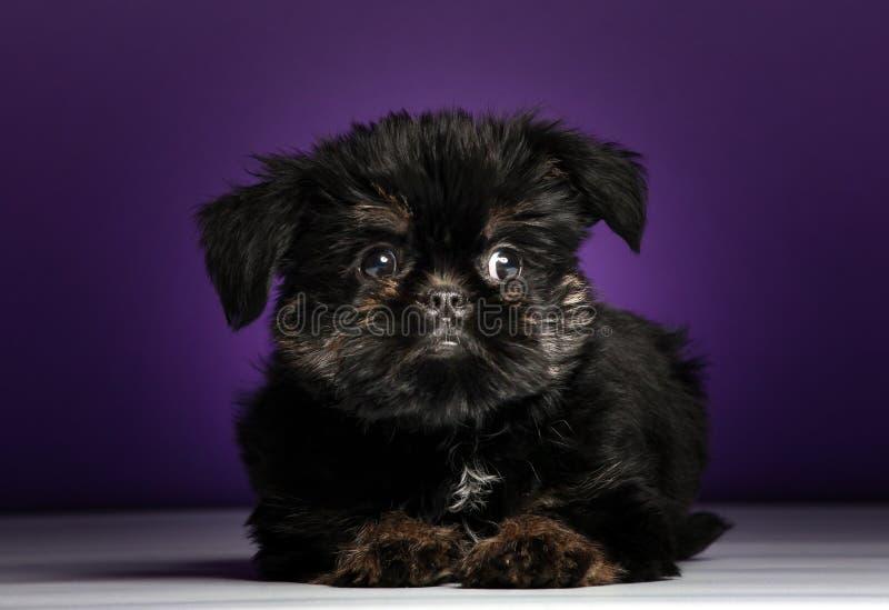 Griffon baby puppy dog in studio quality. Postcard royalty free stock photos