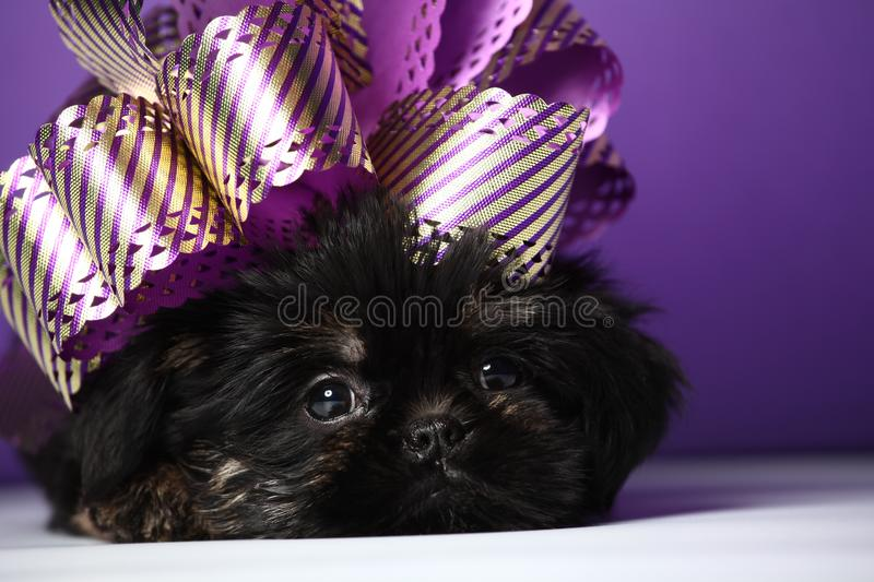 Griffon baby puppy dog in studio quality. Postcard royalty free stock photography