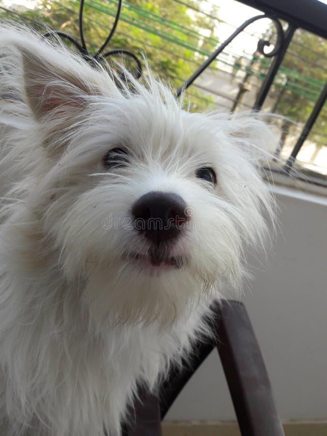 Griffon Dog Face imagen de archivo libre de regalías