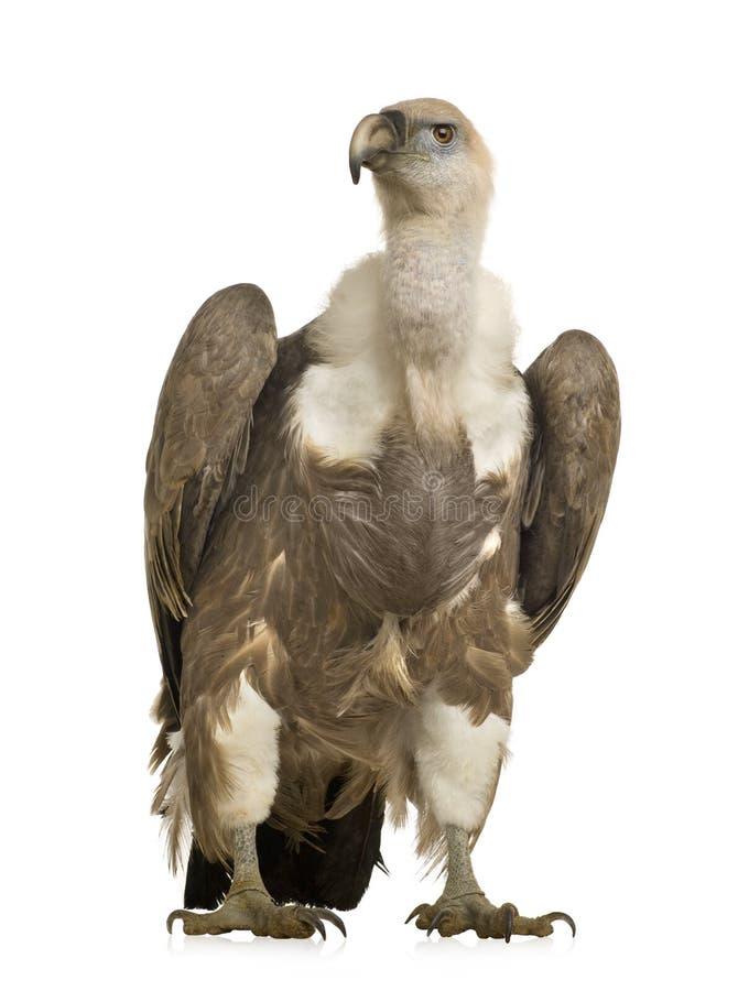 Griffon Geier - Gyps fulvus stockbild