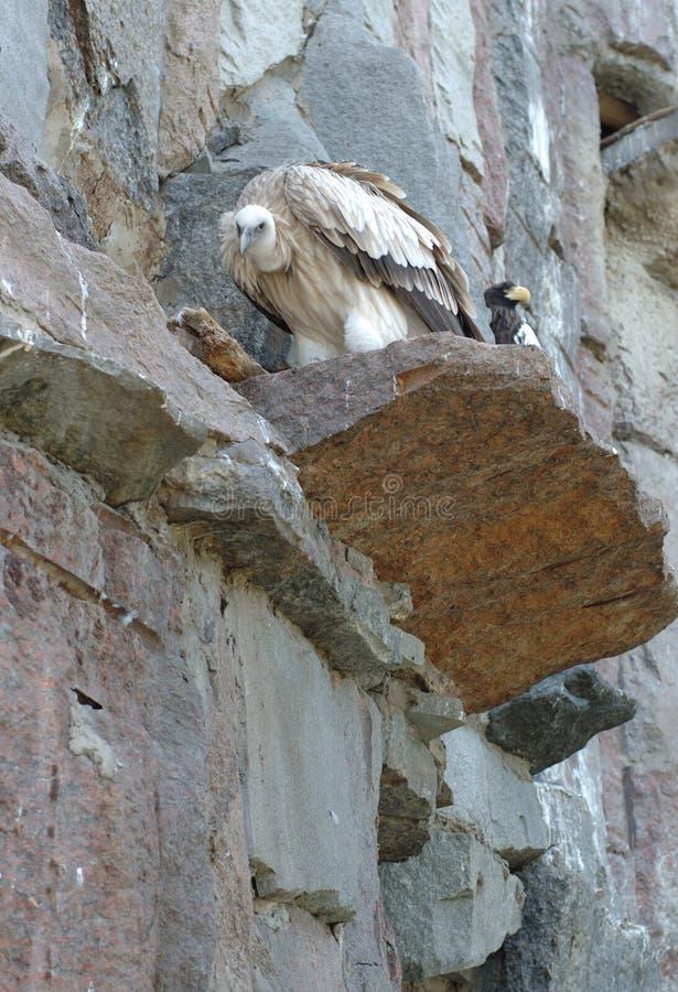 Griffon que se sienta en roca fotografía de archivo