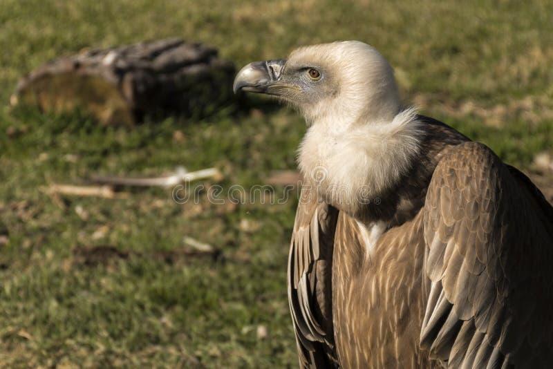 Griffon Vulture fotos de stock