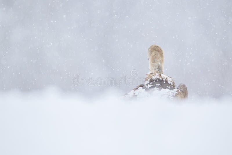 Griffon Vulture foto de stock royalty free