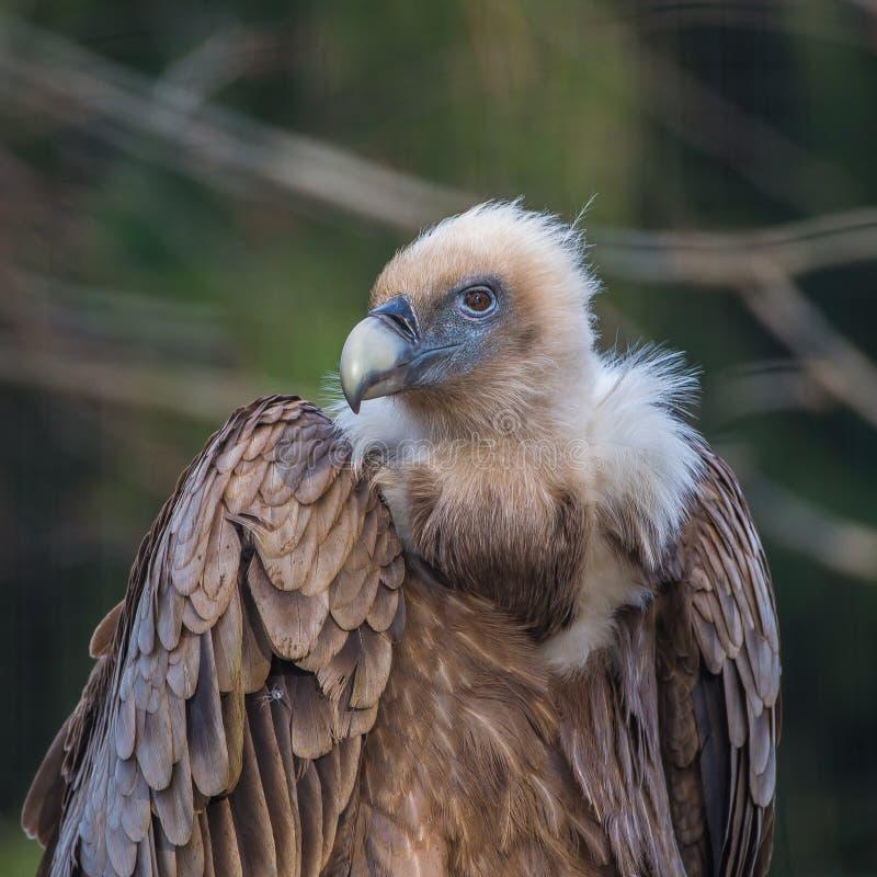 Griffon Vulture imagens de stock