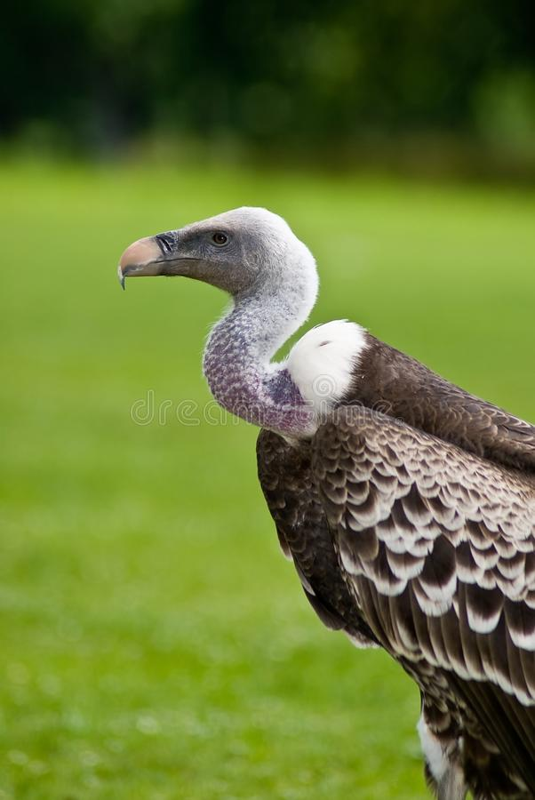 Download Griffon-vulture stock image. Image of griffon, green - 13374291